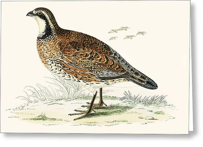 Virginian Partridge Greeting Card by Beverley R Morris