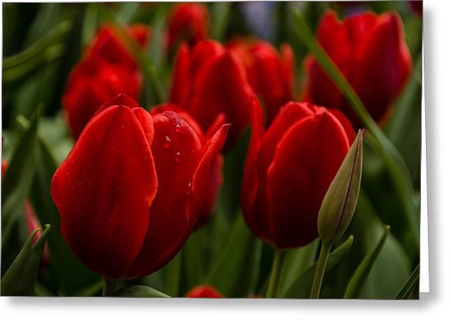 Vivid Red Tulip Garden Greeting Card by Georgia Mizuleva