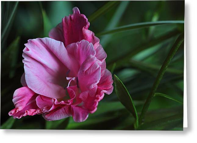Gladiole Greeting Cards - Voile Greeting Card by Vronja Photon