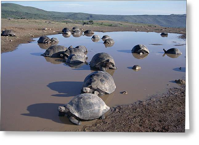 Mud Season Photographs Greeting Cards - Volcan Alcedo Giant Tortoise Wallowing Greeting Card by Tui De Roy