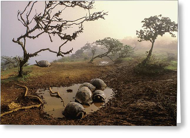 Volcan Alcedo Giant Tortoises Wallowing Greeting Card by D. Parer & E. Parer-Cook