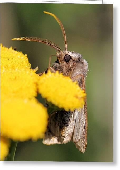 Voluble Dart Moth Greeting Card by Doris Potter