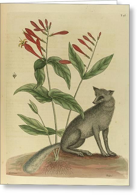 Vulpis Cinereus Americanus Greeting Card by British Library