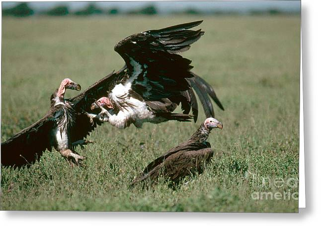 Vulture Greeting Cards - Vulture Fight Greeting Card by Gregory G. Dimijian, M.D.