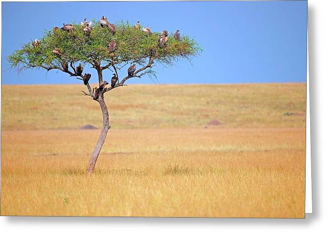 Vultures In Acacia Tree Greeting Card by Bildagentur-online/mcphoto-schulz