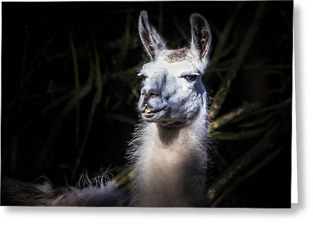 Camels Photographs Greeting Cards - Wacky Llama Greeting Card by Ian Hufton