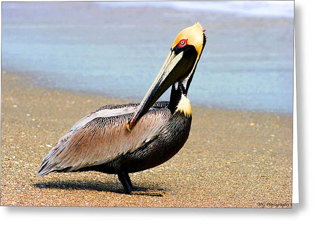 Wadding Greeting Cards - Wadding Pelican  Greeting Card by Marty Gayler