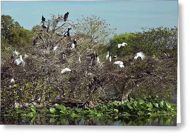 Wading Birds Roosting In A Tree Greeting Card by Bob Gibbons
