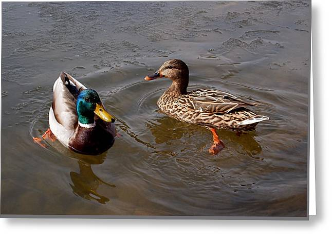 Ice Photographs Greeting Cards - Wading Ducks Greeting Card by Rona Black
