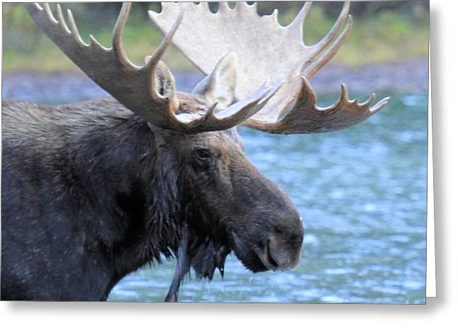 Moose In Water Greeting Cards - Wading For Lunch Greeting Card by Adam Jewell