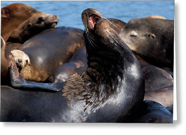 Sea Lions Greeting Cards - Wailing Sea Lion Greeting Card by Ben K