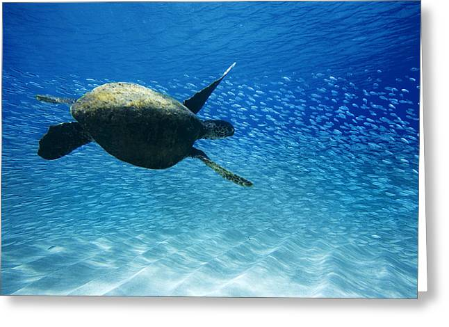 Under-water Greeting Cards - Waimea Turtle 19 Greeting Card by Sean Davey
