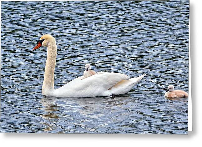 Swans... Greeting Cards - Wait for me Greeting Card by Barbara Hart