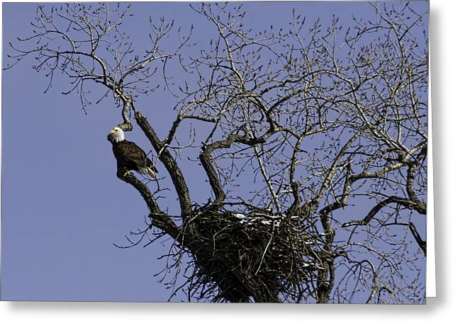 Eagle Greeting Cards - Waiting For Her Return Greeting Card by Thomas Young