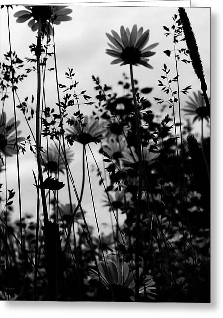 White Daises Greeting Cards - Waiting For Shine  Greeting Card by Jerry Cordeiro