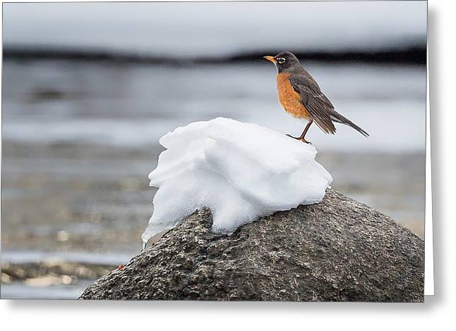 American Robin Greeting Cards - Waiting For Spring Square Greeting Card by Bill  Wakeley