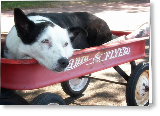 Collie Greeting Cards - Waiting in the Radio Flyer Greeting Card by Mary Lee Dereske