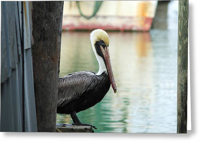 Galveston Paintings Greeting Cards - Waiting Pelican Greeting Card by Melinda Patrick