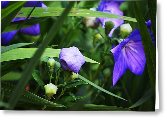 Balloon Flower Greeting Cards - Waiting To Pop Greeting Card by Carrie Munoz