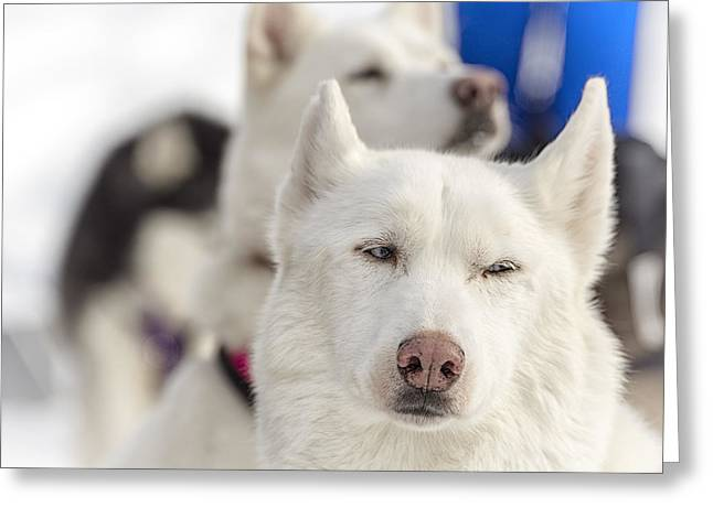 Husky Greeting Cards - Waiting to Work Greeting Card by Kate Houlne