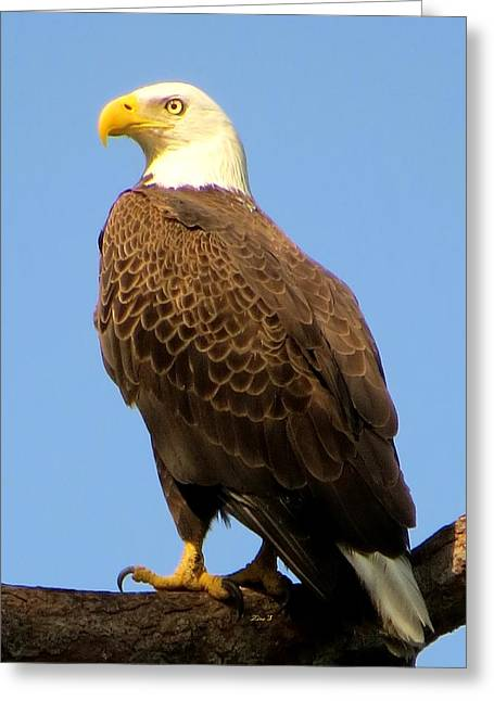 Birds Of Prey Greeting Cards - Waiting Greeting Card by Zina Stromberg