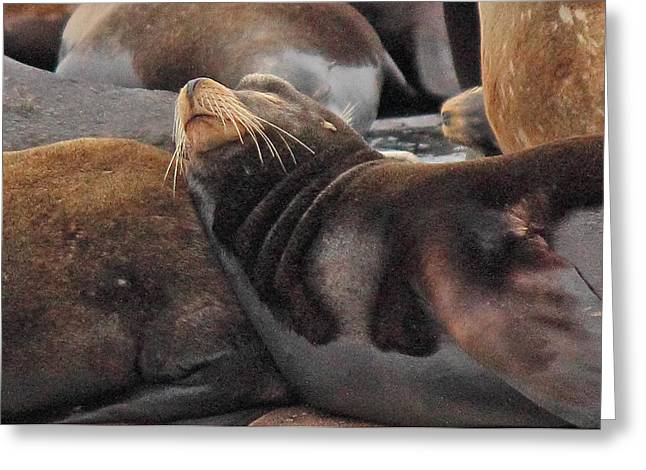 Sea Lions Greeting Cards - Wake Me When The Herring Arrive Greeting Card by Randy Hall