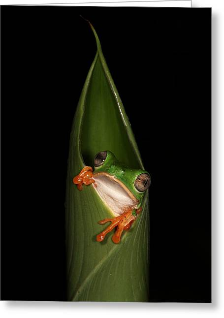 Tree Frog Greeting Cards - Waking Up for the Night Greeting Card by JP Lawrence