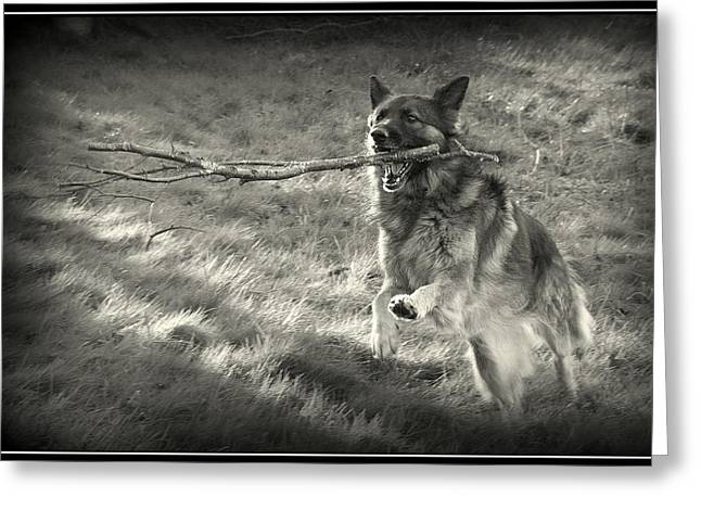 Working Dog Digital Greeting Cards - Walk softly but carry a big stick Greeting Card by Sue Long