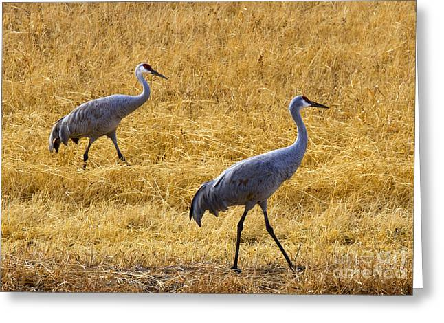 Sandhill Crane Greeting Cards - Walk this Way Greeting Card by Mike Dawson