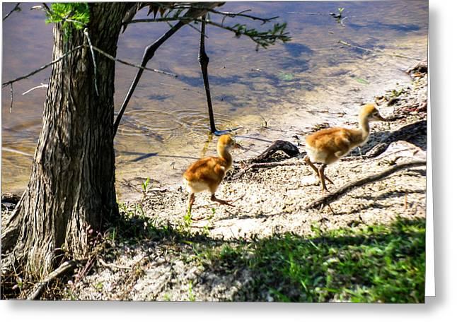 Sandhill Crane Chick Greeting Cards - Walking Around The Lake Greeting Card by Zina Stromberg