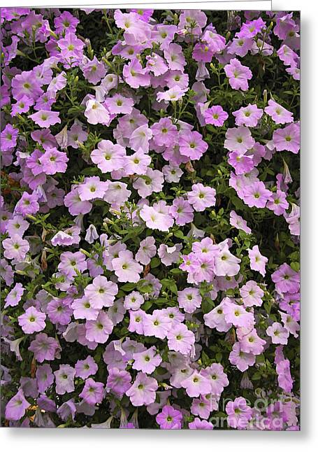 Petunia Greeting Cards - Wall of petunias Greeting Card by Elena Elisseeva