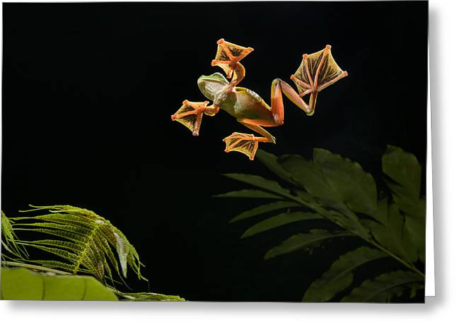 Wallaces Flying Frog Danum Valley Sabah Greeting Card by Ch'ien Lee