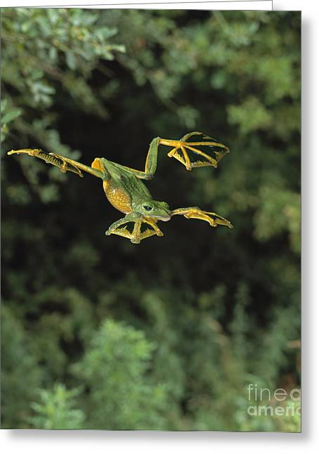 Recently Sold -  - Rhacophorus Greeting Cards - Wallaces Flying Frog Greeting Card by Stephen Dalton