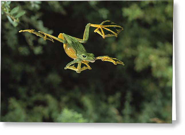 Wallaces Flying Frog Greeting Card by Stephen Dalton