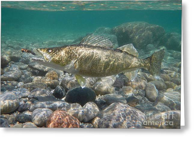 Fishing In Stream Print Greeting Cards - Walleye and crayfish Greeting Card by Paul Buggia