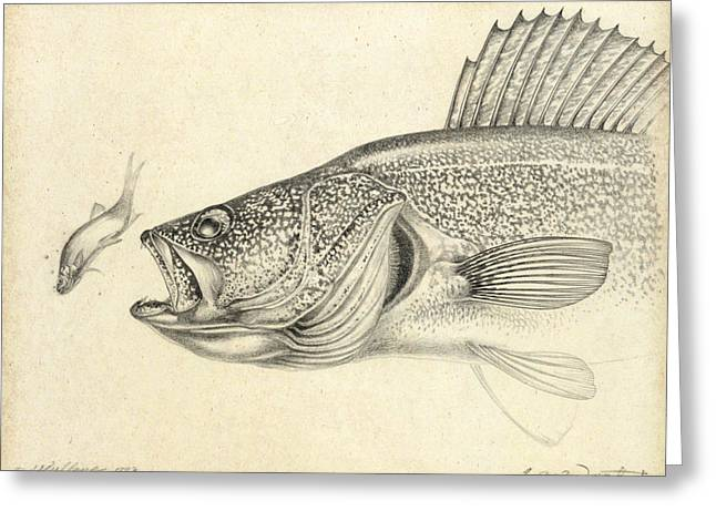 Walleye Pencil Study Greeting Card by Jon Q Wright