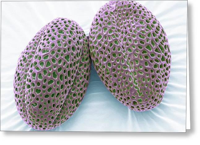 Wallflower Pollen Grains Greeting Card by Steve Gschmeissner