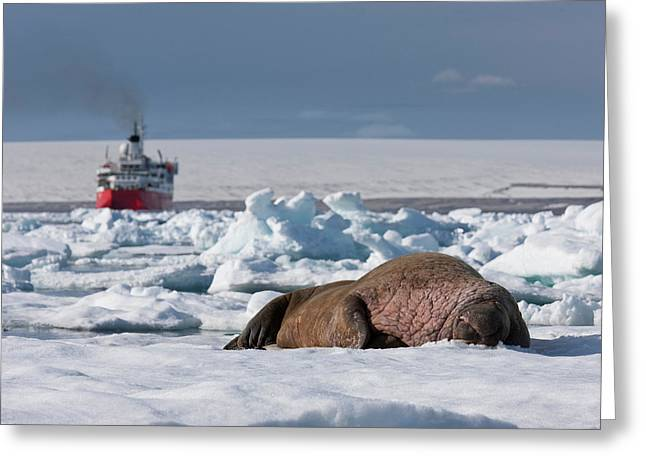 Climate Change Greeting Cards - Walrus Bull Odobenus Rosmarus Greeting Card by Panoramic Images