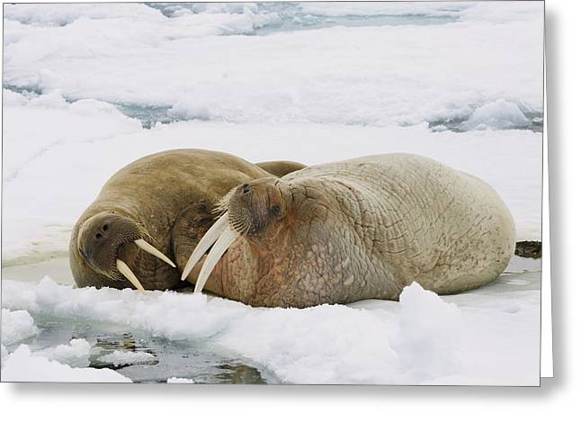 Svalbard Greeting Cards - Walrus Male And Female On Ice Floe Greeting Card by Konrad Wothe