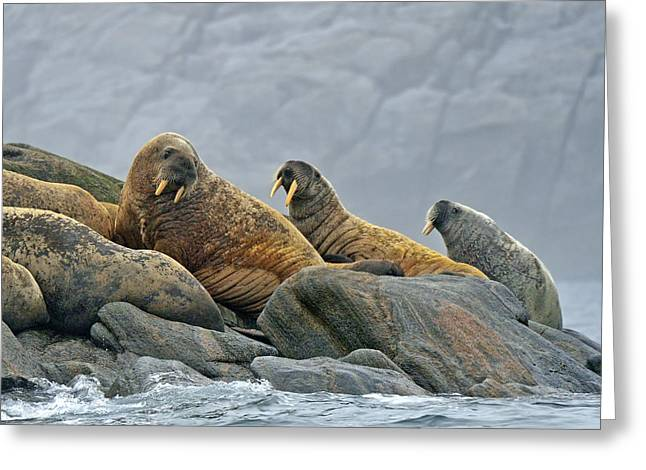 Walruses Greeting Cards - Walrus Greeting Card by Tony Beck