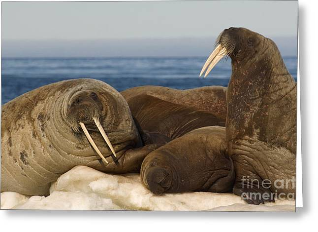 Walruses Greeting Cards - Walruses Resting On Ice Floe Greeting Card by John Shaw