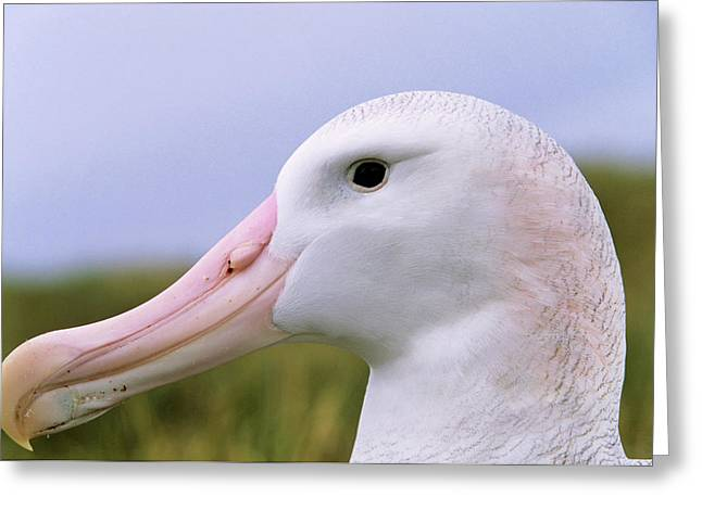 Wandering Albatross (diomendea Exulans Greeting Card by Martin Zwick