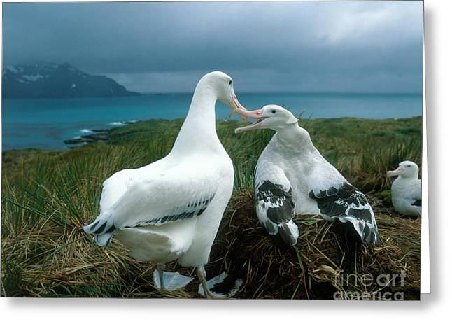 Diomedeidae Greeting Cards - Wandering Albatross Greeting Card by Hans Reinhard