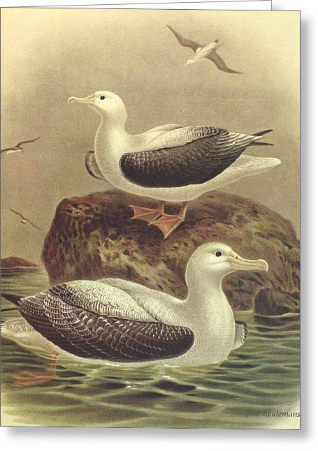 Wandering Greeting Cards - Wandering Albatross Greeting Card by J G Keulemans