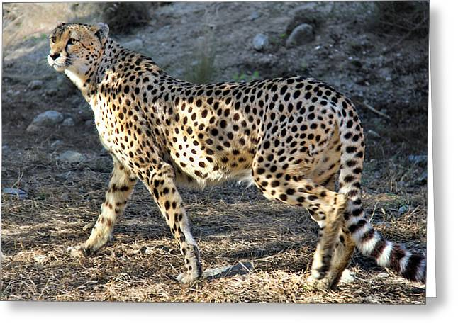 Jogging Greeting Cards - Wandering Cheetah Greeting Card by Mariola Bitner