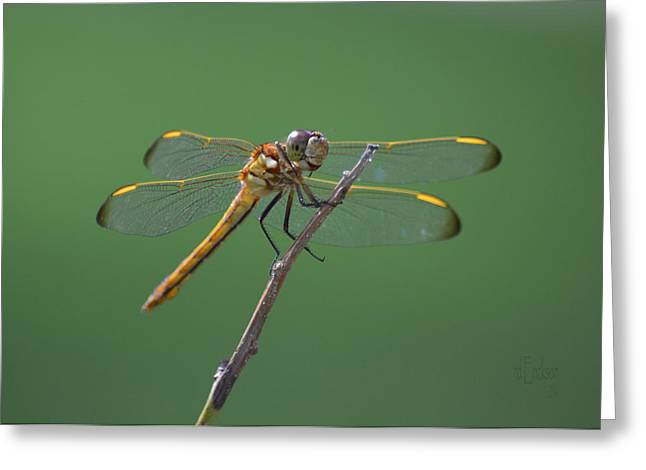 Wandering Glider Dragonfly - Pantala Flavescens Greeting Card by RoyD Erickson