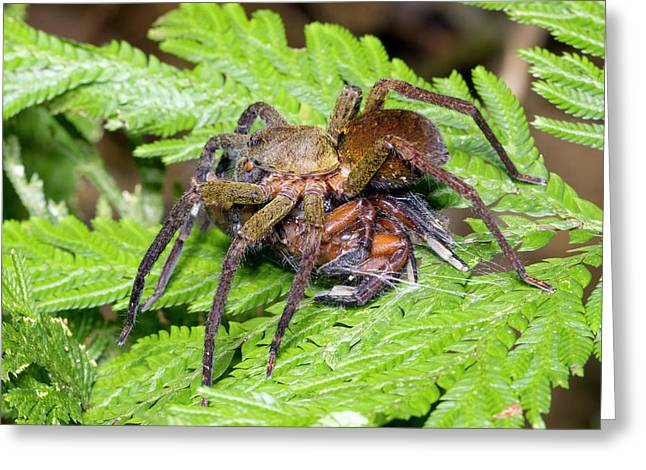 Wandering Spider Eating Another Spider Greeting Card by Dr Morley Read