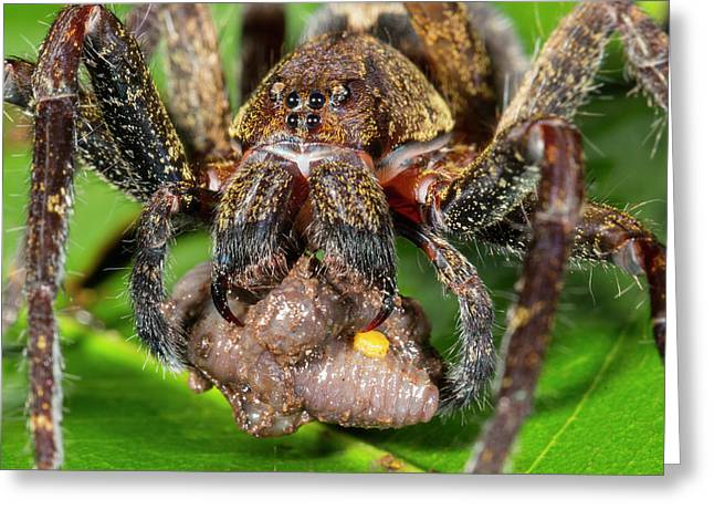 Wandering Spider Feeding Greeting Card by Dr Morley Read