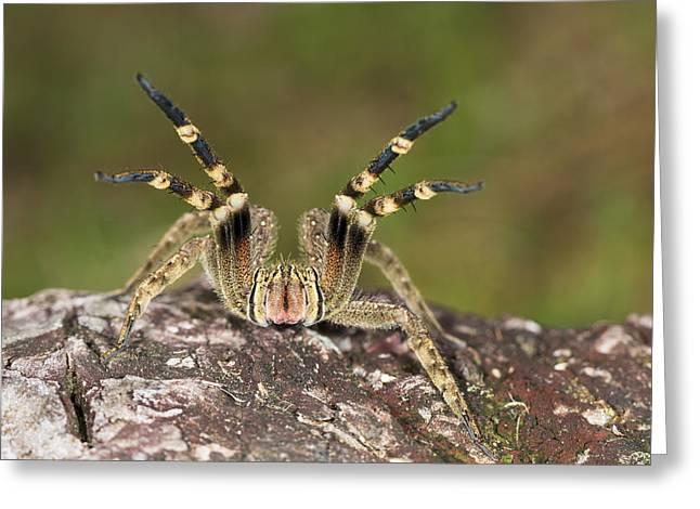 Wandering Spider In Defensive Posture Greeting Card by Konrad Wothe