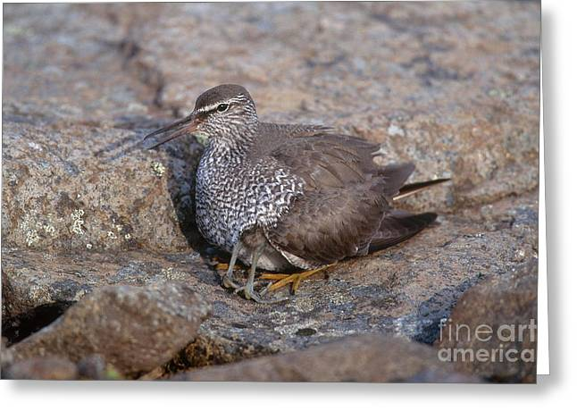 Wandering Greeting Cards - Wandering Tattler With Chick Greeting Card by Art Wolfe